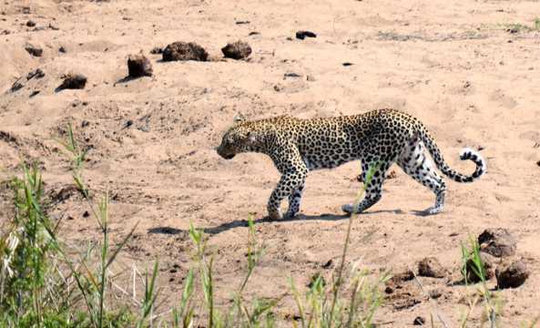 原野上觅食的豹子