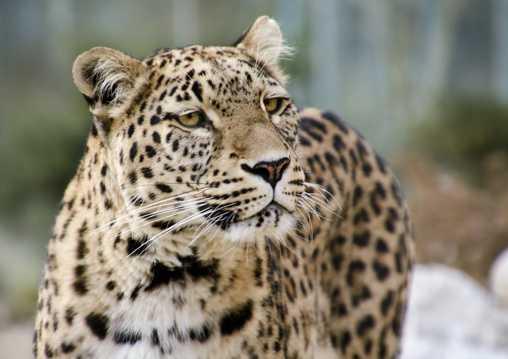 野生的波斯豹图片