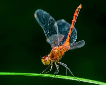 叶子上的蜻蜓图片