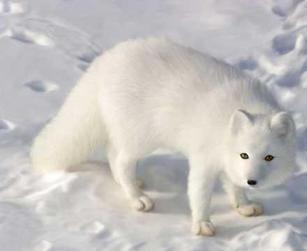 可爱的白狐图片
