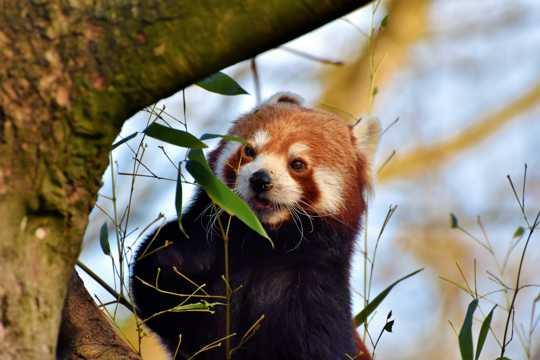 呆萌红熊猫图片