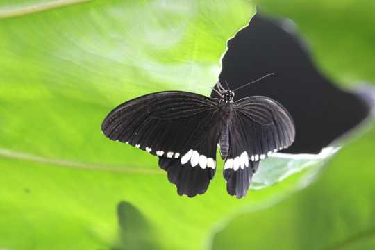 美丽的黑色蝴蝶图片