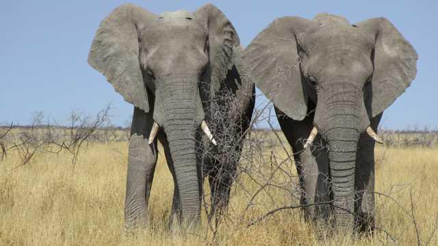 草原上的两只野生大象