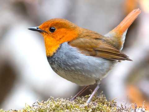 可爱的知更鸟图片