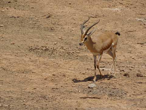 南非草场上的瞪羚图片