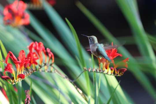 停落花枝的蜂鸟图片