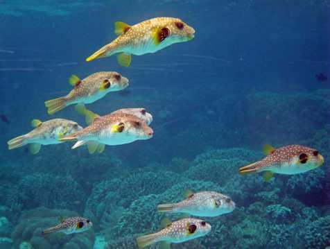 美丽的深海河豚鱼