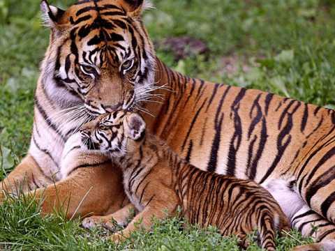 草丛中的野生老虎