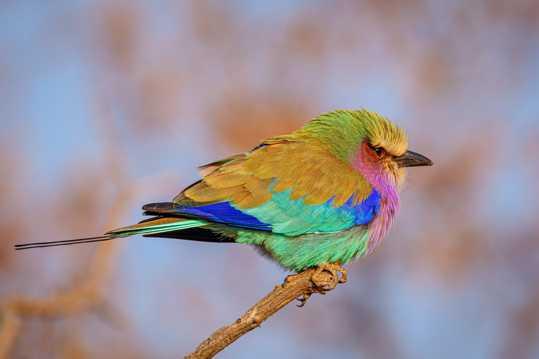 枝头上的佛法僧鸟图片