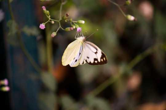 一只美丽的白粉蝶