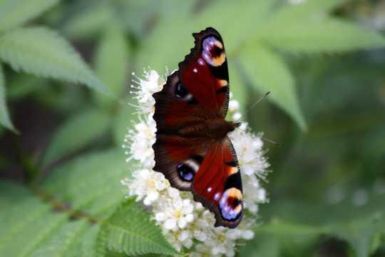 鲜花上的孔雀蝴蝶图片