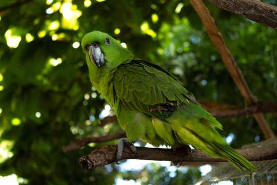 枝头上的绿鹦鹉