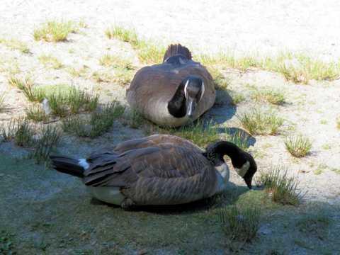 两只家养鸭子
