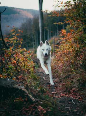 林间奔跑的哈士奇