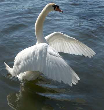 湖里挥动翅膀的白天鹅