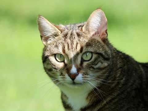 可爱的虎斑猫咪图片