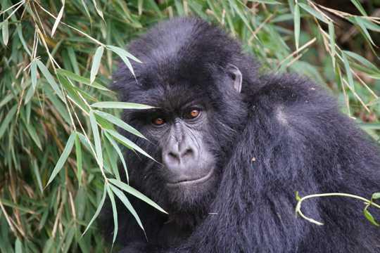 乖巧的大猩猩图片