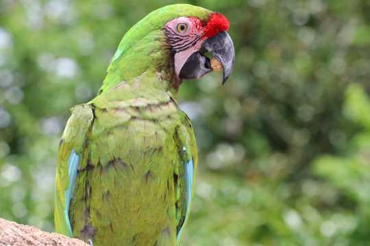 美丽聪明的绿鹦鹉