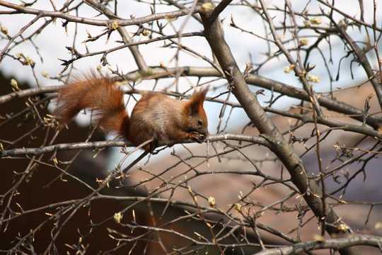 树枝上的松鼠图片