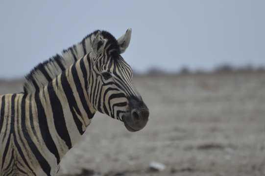 奇特的非洲斑马图片