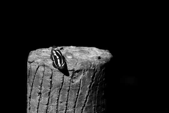 一只美丽的小蝴蝶黑白图片