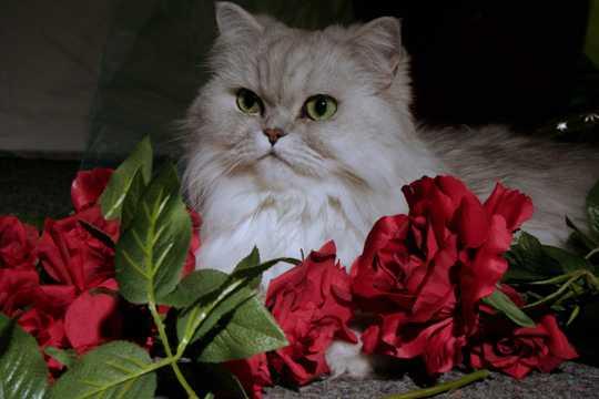 乖巧的波斯猫图片
