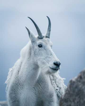 白色的野山羊图片