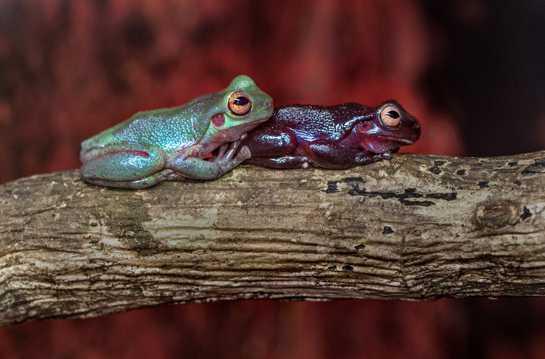 两只可爱的树蛙图片