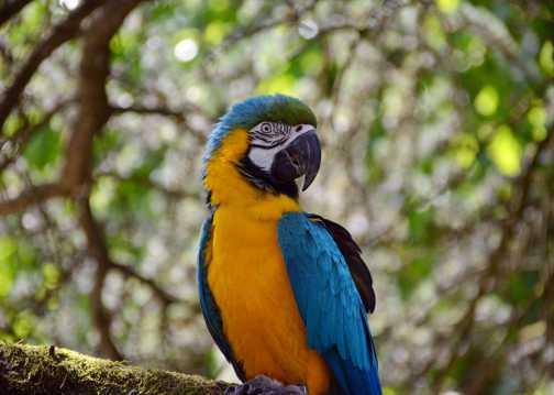 美丽的蓝喉金刚鹦鹉