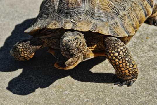 大陆上的旱龟图片