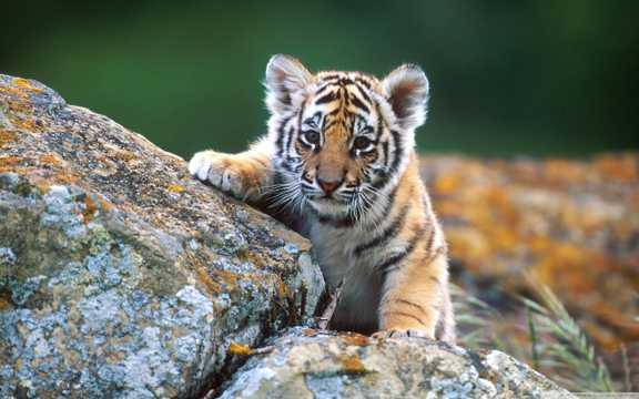 攀爬石头的东北虎