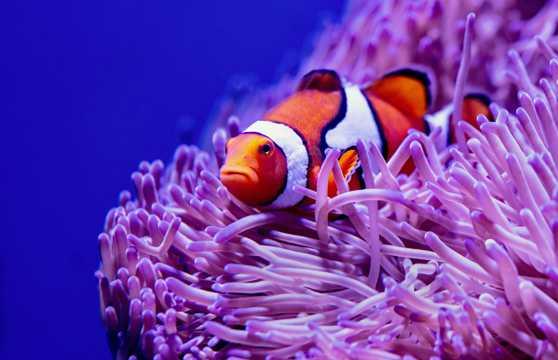 珊瑚中的小丑鱼