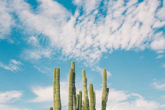 蓝天云朵下的仙人掌