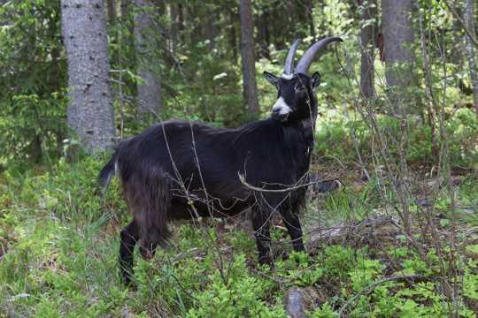 一只黑色山羊图片