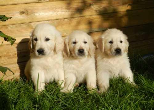 可爱的金毛猎犬幼犬