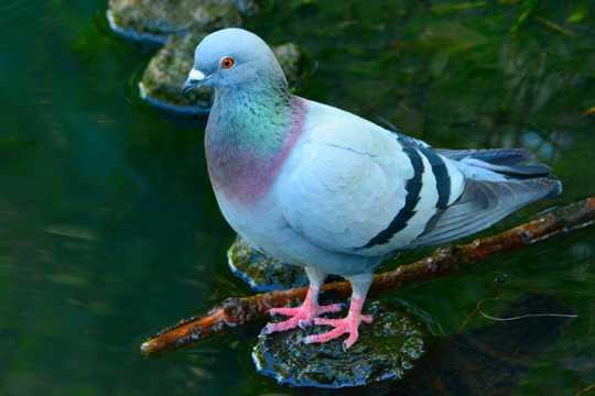 美丽的岩鸽图片