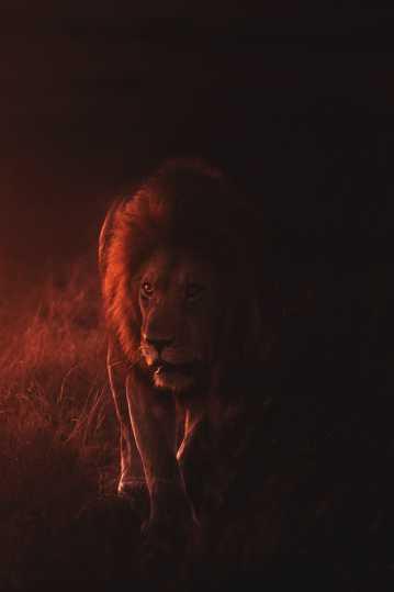 凶猛帅气的雄狮图片