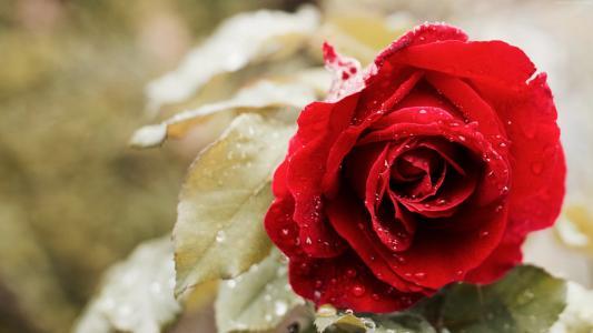 玫瑰,5k,4k壁纸,红色,春天,花(水平)