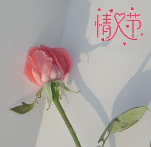 情人节浪漫迷人玫瑰