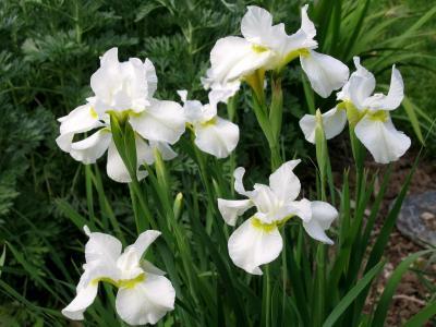 绽放的洁白鸢尾花