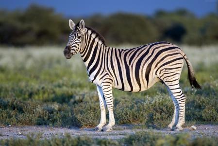 Zebra, Black & White, eye, strips (horizontal)
