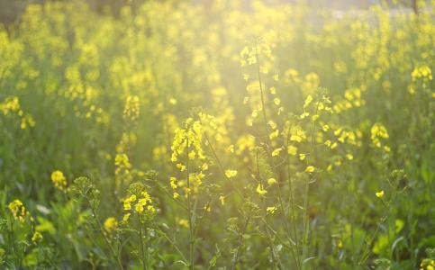 春季油菜花盛开