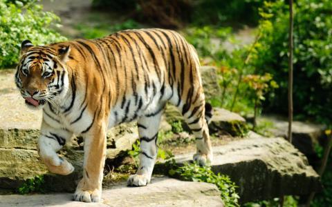 最好的老虎