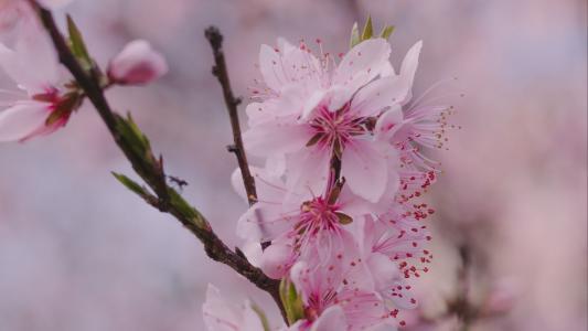 绽放的娇嫩樱花