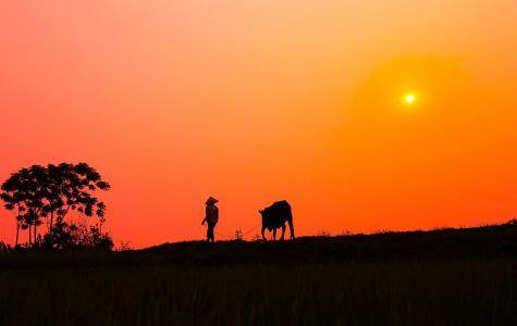 日落,牛,村,剪影