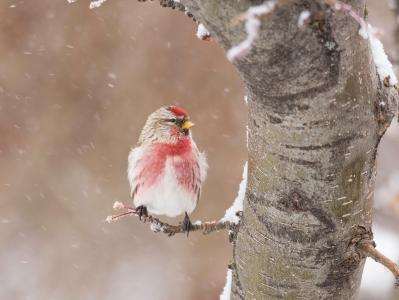 鸟,降雪,冬天