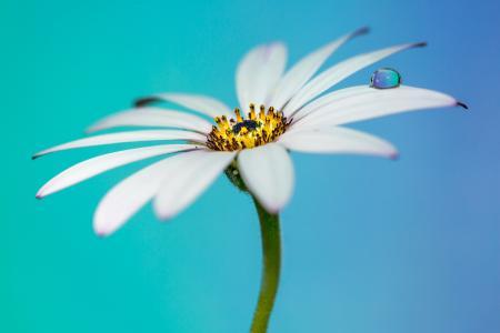白菊花,滴,特写,高清,4 k
