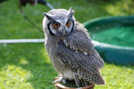 猫头鹰,猛禽,南极,鸟,自然,绿色,眼睛,灰色,动物(水平)