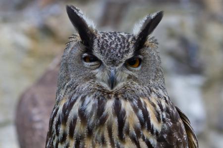 猫头鹰,可爱的动物,搞笑(水平)
