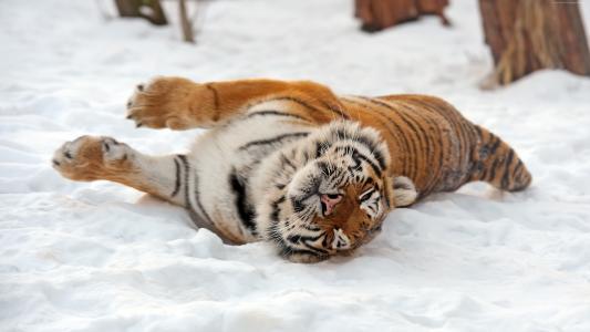 老虎,野生,动物(水平)